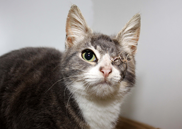 How To Treat An Eye Injury In A Cat