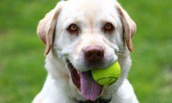 A golden Labrador smiles while holding a tennis ball in his mouth.