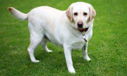 An overweight golden labrador stands on grass